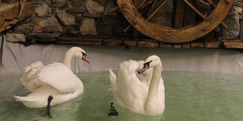 Пара лебедей переселилась назимовку измонастыря вВоронежский зоопарк