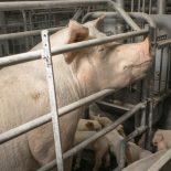 Уметь надо: Облюбованная африканской чумой ГК «Агроэко» открыла в Воронежской области еще один свинокомплекс