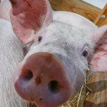 Не опять, а снова: В Воронежской области в очередной раз выявили вирус африканской чумы свиней