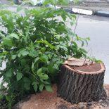 Все менее «зеленый» город: В Воронеже неизвестные незаконно срубили 12 деревьев