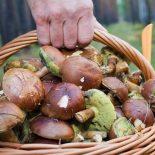 Жертвы «тихой охоты»: В Воронежской области с начала года отравились грибами более 50 чел.