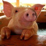 До поросячьего визга: В Воронежской области откроется ирландский свиноводческий племрепродуктор