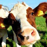 Берем массой: Воронежская область стала лидером по численности КРС в ТОП-10 крупнейших животноводческих хозяйств страны