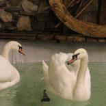 Остаемся зимовать: В Воронежский зоопарк из монастыря прибыли лебеди