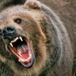 За мишку ответит: Завершено расследование уголовного дела по факту нападения медведя на пенсионера под Воронежем