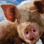 Хрюкать по правилам: В Воронежской области создадут памятки по свиноводству