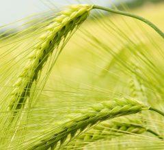 Битва за урожай отодвигается: Аграрии Воронежской области завершили посевную кампанию
