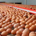 По 200 яиц на брата: В Воронежской области откроется мега-птицефабрика